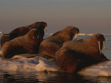 Four Walruses Rest on an Ice Floe Photographic Print by Norbert Rosing