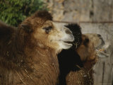 Two Bactrian Camels Seem to Smile for the Camera Photographic Print by Stephen St. John