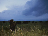 American Bison Graze under a Threatening Evening Sky Photographic Print by Joel Sartore