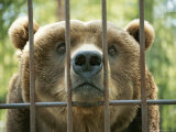 A Huge Grizzly Bear Looks Straight Through the Bars of His Cage Photographic Print by Stephen St. John