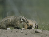 Young American Badgers, One Carrying Prey in its Mouth Photographic Print