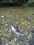 A Dead Chum Salmon, Oncorhynchus Keta, Lies on a Rocky River Bottom Fotoprint van Bill Curtsinger