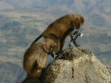 Two Curious Female Geladas Inspect a Remote-Camera Set-Up Photographic Print by Michael Nichols