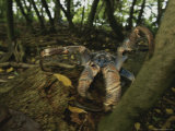 A Coconut Crab, the Largest Land Crustacean Photographic Print by Randy Olson