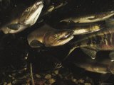 A Group of Salmon Swim Together to Spawning Grounds Fotoprint van Bill Curtsinger