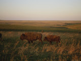 Bison Grazing in the Tallgrass Prairie Preserve in the Osage Hills Photographic Print by Joel Sartore