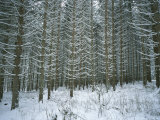 A Stand of Pine Trees in the Black Forest, Germany Photographic Print