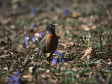 The First Robin of Spring Searches for Worms Photographic Print by Stephen St. John