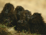 Rain-Soaked Female Geladas Huddle Together Photographic Print