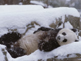 A Panda in the Snow at the National Zoo in Washington, Dc Photographic Print by Taylor S. Kennedy