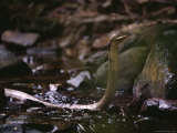 Close View of King Cobra in a Stream Photographic Print by Mattias Klum