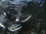 Salmon Gather in a Stream to Spawn Fotoprint van Karen Kasmauski