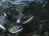 Salmon Gather in a Stream to Spawn Photographic Print by Karen Kasmauski
