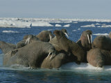 Atlantic Walruses Gather Together on an Ice Floe Photographic Print by Norbert Rosing