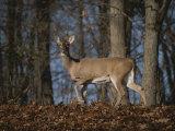 A Wild Deer Caught in Early Morning Light Fotografisk trykk av Stephen St. John