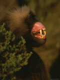 A Male Gelada Bares His Teeth and Gums in a Display of Aggression Photographic Print by Michael Nichols