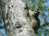 A Raccoon on a Tree Trunk in Rock Creek Park Photographic Print