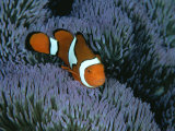 A Clown Anemonefish of the Western Pacific on Sea Anemone Tentacles Fotografisk tryk af Wolcott Henry