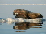 A Mother Walrus Gives Her Infant a Flipper Hug and a Tusk Rub Photographic Print by Norbert Rosing