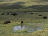 Bison Herd in Hayden Valley, Yellowstone National Park Photographic Print by Norbert Rosing
