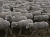 A Herd of Sheep Moves to Greener Pastures Photographic Print by Michael Melford