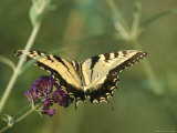 A Yellow Swallowtail Butterfly on a Flower Photographic Print