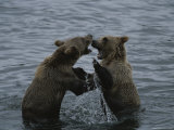 Young Grizzly Bears Spar in the Water Photographic Print by Karen Kasmauski