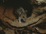 A Mouse Steps out of its Woodland Home in a Hollow Log Photographic Print by Bates Littlehales