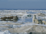 A Female Polar Bear and Her Cubs Approach a Group of Walruses Photographic Print by Norbert Rosing
