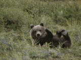 A Grizzly Lounges in a Humorous Position Photographic Print