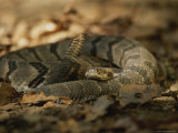 A Timber Rattler in Defensive Pose Shakes its Tail in Warning Photographic Print by Joel Sartore