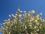 A Bush Bearing White Flower Spikes Reaches Skyward Photographic Print by Raymond Gehman