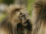 A Male Gelada Flashes His Pink Eyebrows Menacingly at a Bachelor Male Photographic Print by Michael Nichols