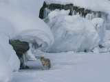 Coyote Standing on the Ice of Yellowstone Lake Photographic Print