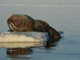 An Atlantic Walrus Struggles up onto an Ice Floe Near its Mother Photographic Print by Norbert Rosing