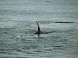 The Dorsal Fin of a Killer Whale Rides High Above the Waters Surface Photographic Print by Raymond Gehman
