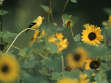 A Male American Goldfinch Sits on a Sunflower Eating Seeds Photographic Print by Taylor S. Kennedy
