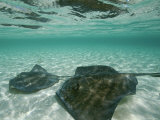 Two Southern Stingrays Swim in Pristine Waters Photographic Print by Wolcott Henry