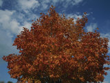 Orange, Red, and Yellow Leaves against Blue Sky in Autumn Photographic Print by Stephen St. John