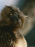 Sleepy Female Gelada with Her Eyes Closed, Revealing the Pink Lids Photographic Print by Michael Nichols
