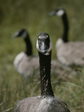 A Trio of Canada Geese, Branta Canadensis, Sit in a Field Photographic Print by Bates Littlehales
