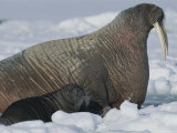 A Female Atlantic Walrus, and Her Calf Rest on an Ice Floe Photographic Print by Norbert Rosing