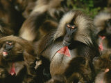 A Male Gelada with a Group of Females, His Harem Photographic Print by Michael Nichols