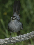 A Gray Catbird, Dumetella Carolinensis, Perches on a Dead Tree Limb Photographie par Bates Littlehales