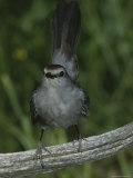 A Gray Catbird, Dumetella Carolinensis, Perches on a Dead Tree Limb Photographic Print by Bates Littlehales