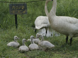 Swans and Their Babies Rest at the Waters Edge by a No Fishing Sign Photographic Print by Sam Kittner