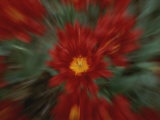 A Time Exposure Zoom Emphasizes Shape and Color of a Red Tulip Photographic Print by Stephen St. John