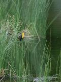 Yellow Headed Blackbird on Grasses Photographie par Norbert Rosing