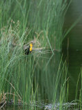 Yellow Headed Blackbird on Grasses Photographic Print by Norbert Rosing