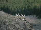 Mountain Goats on a Rocky Mountainside in the Yukon Territory Photographic Print by Michael Melford